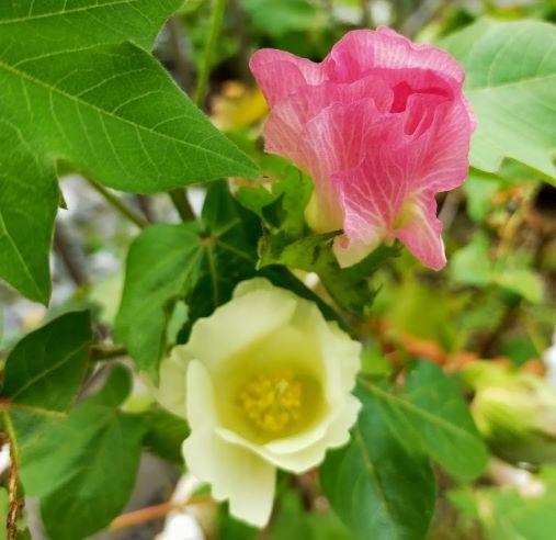 綿花コットンの花