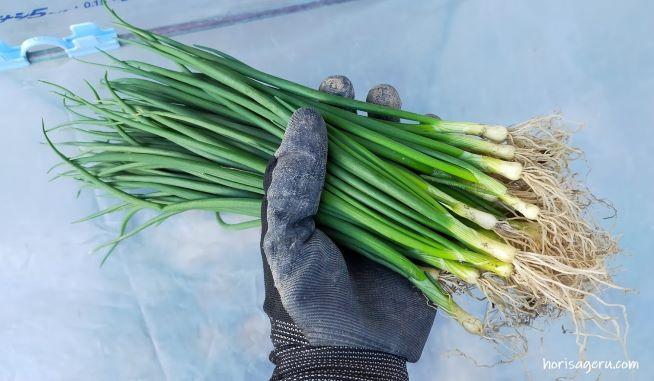 玉ねぎの苗の選び方