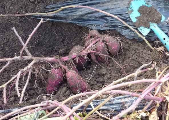 家庭菜園で庭の畑でサツマイモを収穫