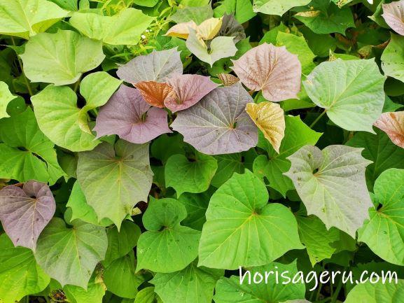 サツマイモの葉っぱと葉柄(茎)を食べる