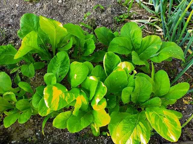 小松菜の育て方と栽培記録で成長した状態