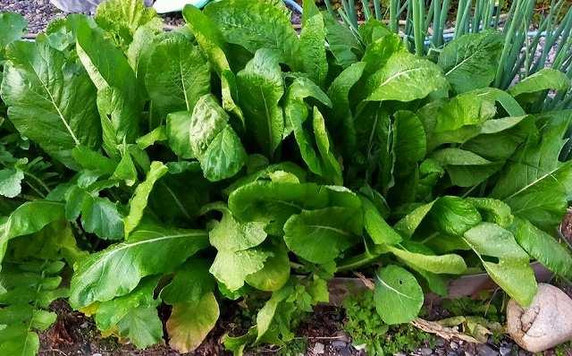 小松菜の栽培記録で密植栽培