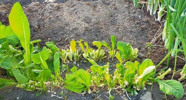 小松菜の栽培においての切り戻し