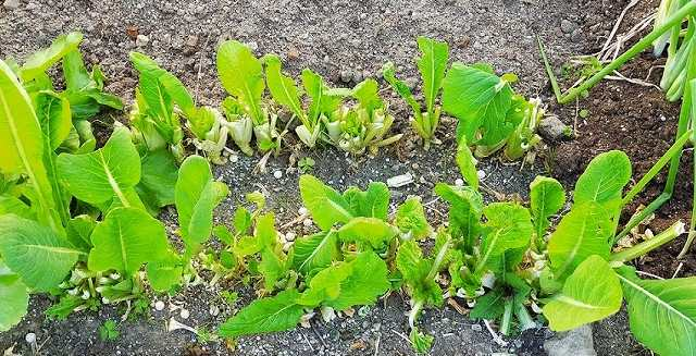 小松菜の栽培記録