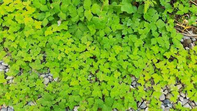 日当たりの悪い場所で育つ三つ葉が芝生状態