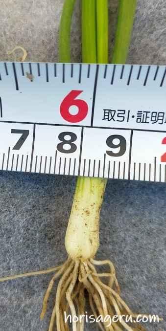玉ねぎの苗の選び方でのおすすめする良い苗