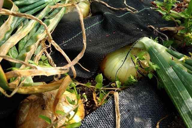 余ったタマネギ苗をプランター栽培代用で防草シートでつくる