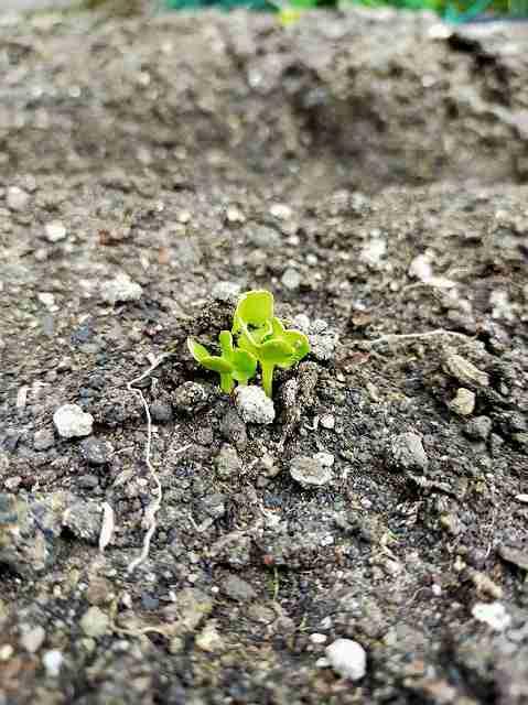 大根栽培記録で発芽する