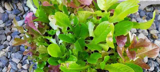 リーフレタスの日陰で栽培記録内の葉の状態