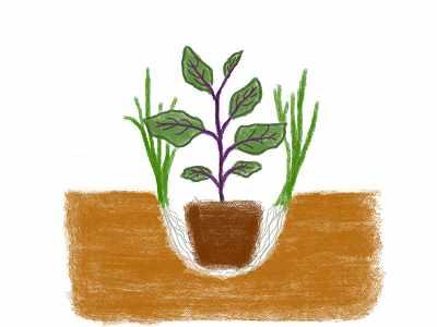 ナスのコンパニオンプランツであるニラの植え方