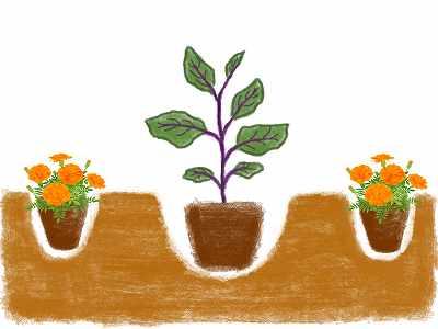 ナスのコンパニオンプランツであるマリーゴールドの植え方
