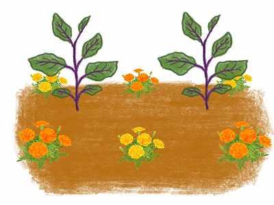 ナスのコンパニオンプランツであるマリーゴールドの植え方2