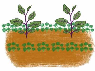 ナスのコンパニオンプランツであるパセリの植え方