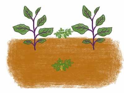 ナスのコンパニオンプランツである落花生の植え方