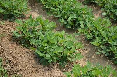 5月に植える野菜の落花生