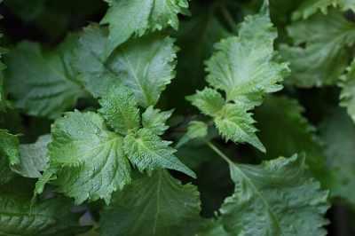 5月に植える野菜の日陰で育てられる青ジソ