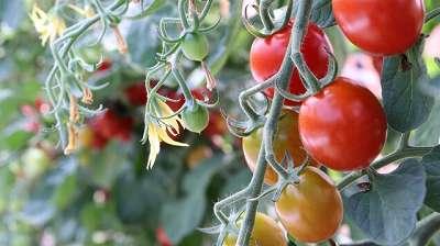 5月に植える野菜のミニトマトと中玉トマトと大玉トマト